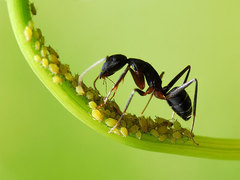 Honey Ants with Aphids